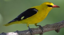 African Golden Oriole Wallpaper Free