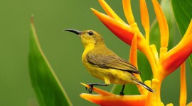 African Golden Oriole Wallpaper Full HD