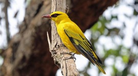 African Golden Oriole Wallpaper HD