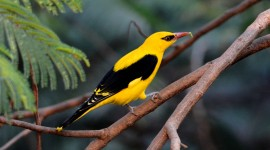 African Golden Oriole Wallpaper HQ