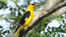 African Golden Oriole Wallpaper High Definition
