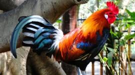 Bird Cock Wallpaper Gallery