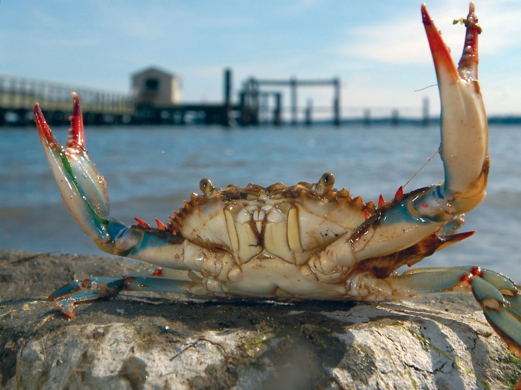 Blue Crab wallpapers HD