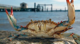 Blue Crab Wallpaper Background