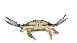 Blue Crab Wallpaper Download