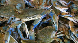 Blue Crab Wallpaper Download Free
