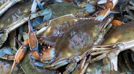 Blue Crab Wallpaper For PC