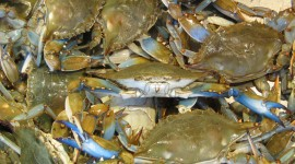 Blue Crab Wallpaper Full HD