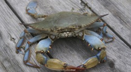 Blue Crab Wallpaper High Definition