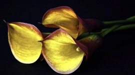 Callas Flowers Desktop Wallpaper