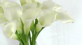 Callas Flowers Photo Free