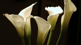 Callas Flowers Wallpaper