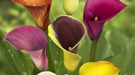 Callas Flowers Wallpaper For Mobile