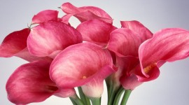Callas Flowers Wallpaper Gallery