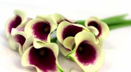 Callas Flowers Wallpaper HQ
