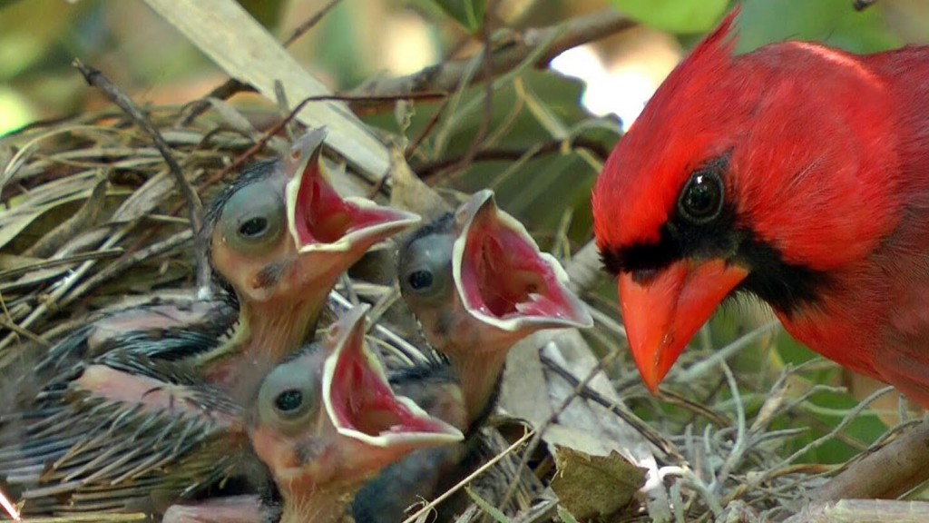 Cardinal Chicks In Nest wallpapers HD