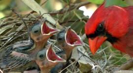 Cardinal Chicks In Nest Best Wallpaper