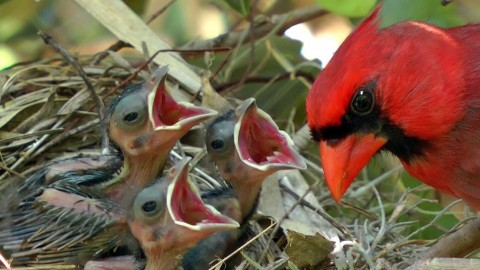 Cardinal Chicks In Nest wallpapers high quality