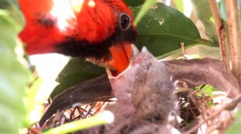 Cardinal Chicks In Nest For Android