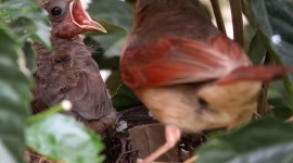 Cardinal Chicks In Nest For Android#1