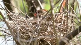 Cardinal Chicks In Nest For Android#2