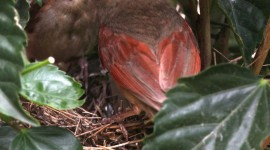 Cardinal Chicks In Nest For IPhone