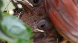 Cardinal Chicks In Nest For IPhone#1