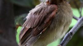 Cardinal Chicks In Nest For Mobile#1