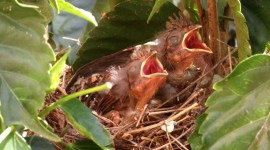 Cardinal Chicks In Nest Photo