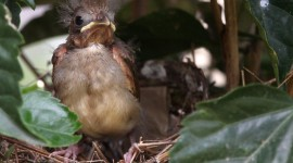 Cardinal Chicks In Nest Photo Free#1