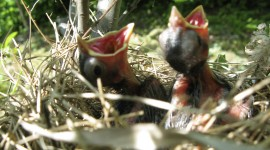 Cardinal Chicks In Nest Pics