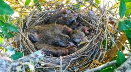 Cardinal Chicks In Nest Pics#2