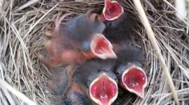 Cardinal Chicks In Nest Wallpaper