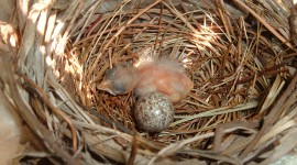 Cardinal Chicks In Nest Wallpaper Free