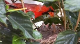 Cardinal Chicks In Nest Wallpaper#1