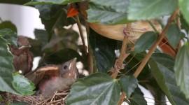 Cardinal Chicks In Nest Wallpaper#2