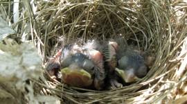 Cardinal Chicks In Nest Wallpaper#3