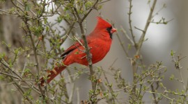 Cardinalis Cardinalis High Quality Wallpaper