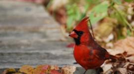 Cardinalis Cardinalis Wallpaper 1080p