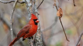 Cardinalis Cardinalis Wallpaper Download