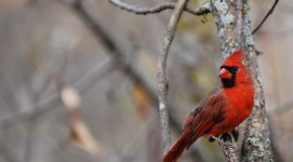 Cardinalis Cardinalis Wallpaper Download Free