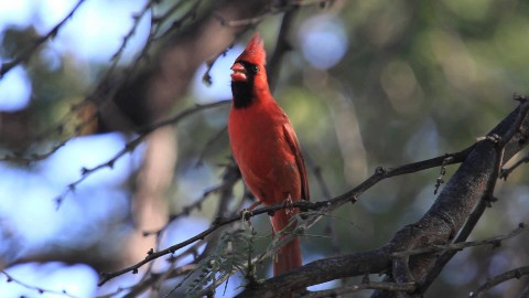 Cardinalis Cardinalis wallpapers high quality