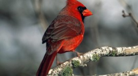 Cardinalis Cardinalis Wallpaper Free