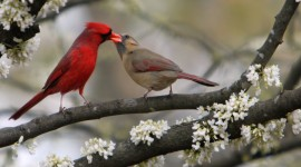 Cardinalis Cardinalis Wallpaper Full HD