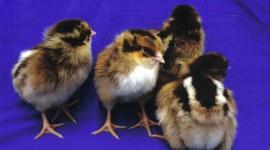 Chicks Desktop Wallpaper