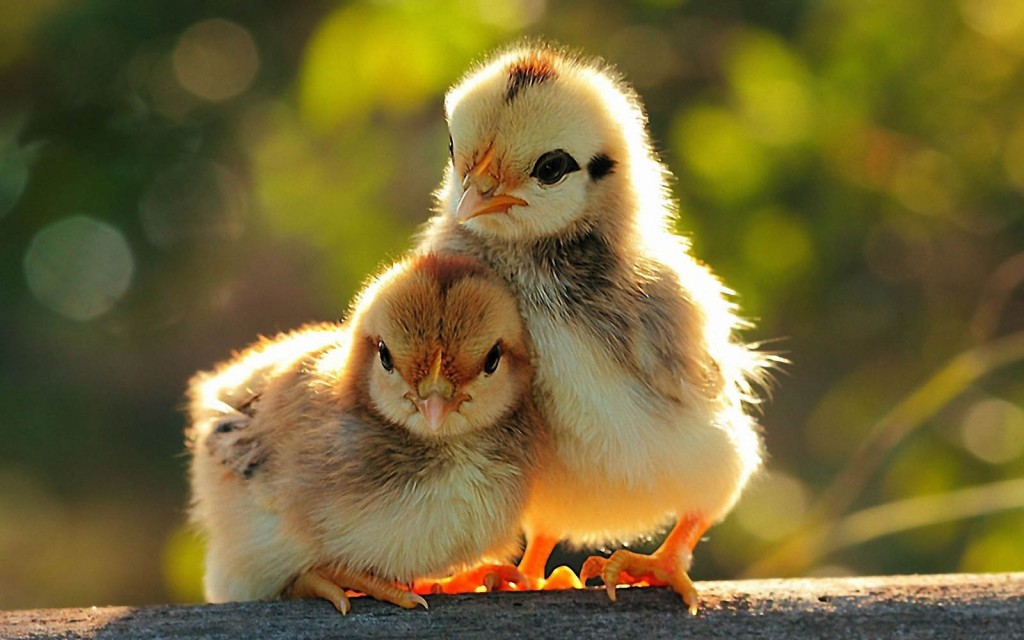 Chicks wallpapers HD