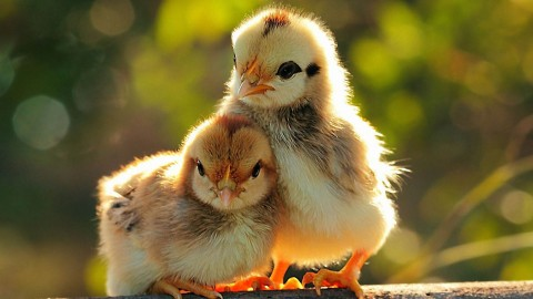 Chicks wallpapers high quality