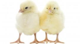 Chicks Wallpaper For Desktop