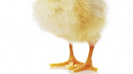 Chicks Wallpaper For IPhone Free