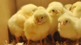 Chicks Wallpaper For PC